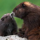 baby-marmot-with-mother