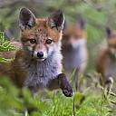 fugs waldkadse Schlaukadse würde streicheln süßvieh firefox naruto vulpes vulpes flauschvieh rotkadse